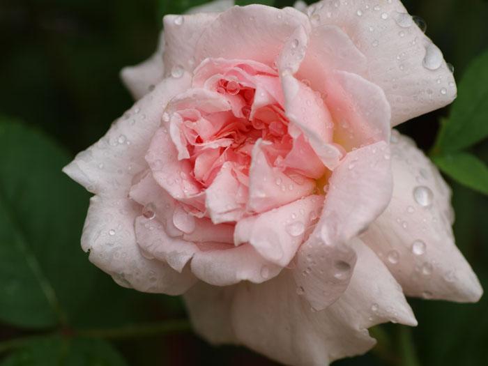 薔薇・薔薇・薔薇・・・